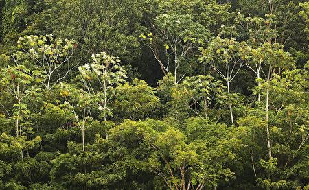 美國加州大學洛杉磯分校的研究人員發現,亞馬遜雨林的樹木會釋放濕氣形成雲霧,並導致當地下雨。圖為巴西境內的亞馬遜雨林。(Mario Tama / Getty Images)