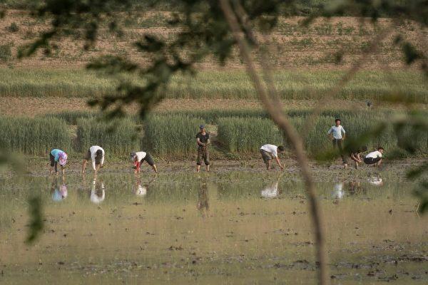 2017年6月2日拍攝的照片顯示,朝鮮開城郊區的農民在稻田種植水稻。( AFP PHOTO / Ed JONES)