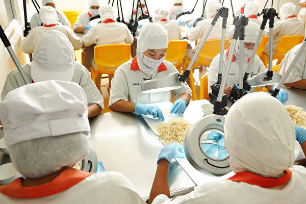 白兰氏燕窝,以人工放大镜筛检细微杂质。(美国燕窝白兰氏燕窝提供)