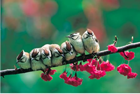 冠羽画眉 (Yuhina brunneiceps) 是台湾特有鸟类,体长 12~13 公分,体态短小敏捷,头顶则有镶黑边的栗褐色羽冠。(图片来源/林英典摄影/沈圣峰提供)