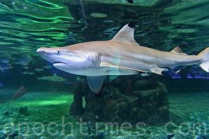 鲨鱼竟然喜欢上了人类的抱抱!澳大利亚一条虎鲨每次见到一名潜水员都会上前求抱抱。图为香港海洋公园鲨鱼馆。(宋祥龙/大纪元)