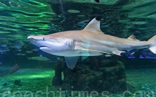 """这名潜水员有奇招 大鲨鱼见他秒变""""宠物狗"""""""