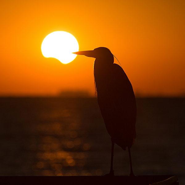 Great Blue Heron 大蓝鹭。( Ontario Nature提供)