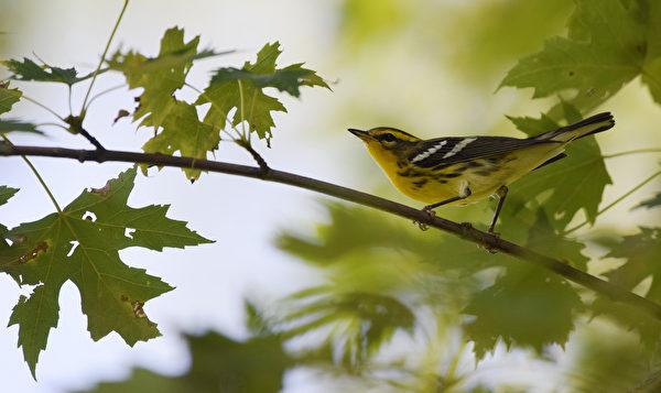 图为 Balckburnian warbler 橙胸林莺。( Ontario Nature提供)