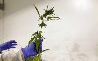 2017年8月4日位于卑诗省邓肯(Duncan)的Harvest One Cannabis Inc.公司员工正在收获大麻植物。(加通社)