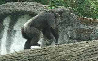 动物园黑猩猩攀枝条  离开展场吓坏游客
