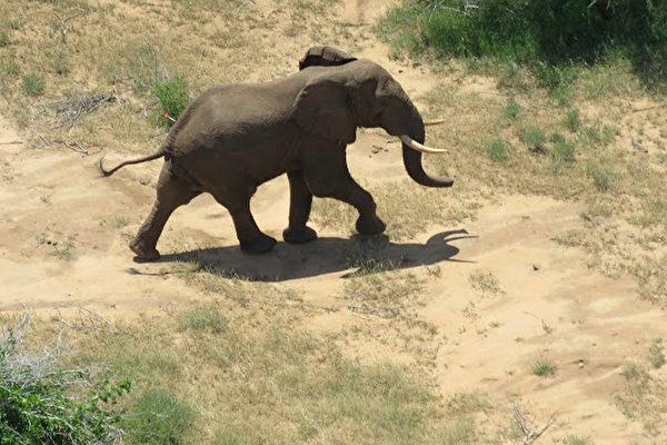 東非象群為了躲避盜獵者,變成夜間才移動和覓食。圖為2015年12月,肯亞公象摩根。(STRINGER/SAVE THE ELEPHANTS/AFP)