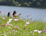 韓國九里波斯菊慶典9月22日至24日在京畿道九里漢江公園舉行。韓國九月被稱為波斯菊季節,每到波斯菊慶典期間清香撲鼻的波斯菊花香吸引數十萬人前來觀賞。(全景林/大紀元)
