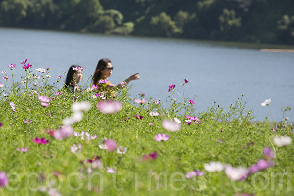 韩国九里波斯菊庆典9月22日至24日在京畿道九里汉江公园举行。韩国九月被称为波斯菊季节,每到波斯菊庆典期间清香扑鼻的波斯菊花香吸引数十万人前来观赏。(全景林/大纪元)