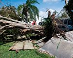 9月11日,佛罗里达州Homestead被Irma飓风连根拔起的树。 (SAUL LOEB/AFP/Getty Images)