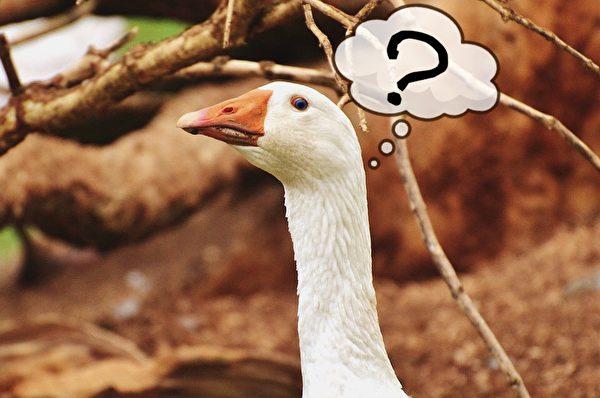鹅曰:扑火的不是我。(Pixabay/大纪元制图)