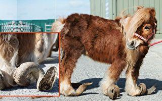 小馬因主人疏於管理和飼養,馬蹄上的指甲瘋長了10年,導致牠無法正常行走。(臉書/大紀元合成)