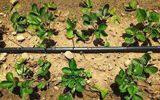 草莓存活率近100% 台育苗技術具潛力