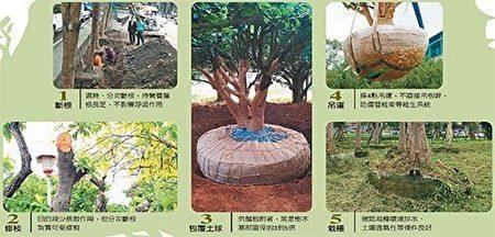正确移植树木图。(林宝云/大纪元)