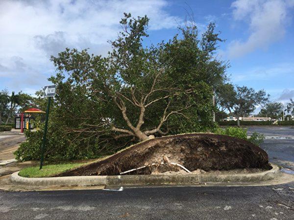 大树被连根拔起,倒下后挡住了道路。(张启明/大纪元)