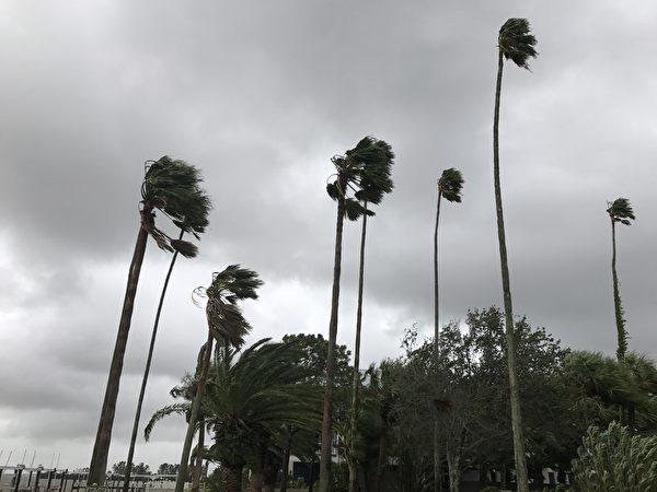 清水灣地區颶風過後隨風搖動的棕櫚樹.( 周子定/大紀元)