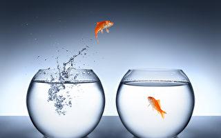 比利時一家旅館提供租魚作伴的服務,以免房客太孤單。圖為魚缸中的金魚。(Fotolia)