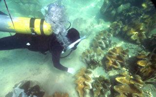 2008年10月18日,海洋研究人员在海床上收集砗磲的精子。( ROMEO GACAD/AFP/Getty Images)