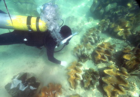 2008年10月18日,海洋研究人員在海床上收集硨磲的精子。( ROMEO GACAD/AFP/Getty Images)