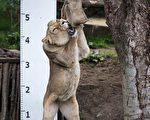 给狮子量身高就这么量!(CHRIS J RATCLIFFE/AFP/Getty Images)
