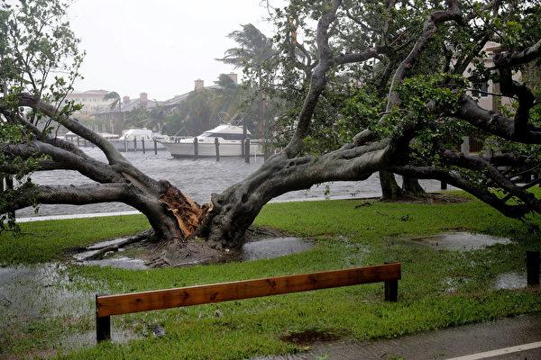 10日,佛州勞德代爾堡街頭的一棵大樹被劈成兩半。 (Chip Somodevilla/Getty Images)
