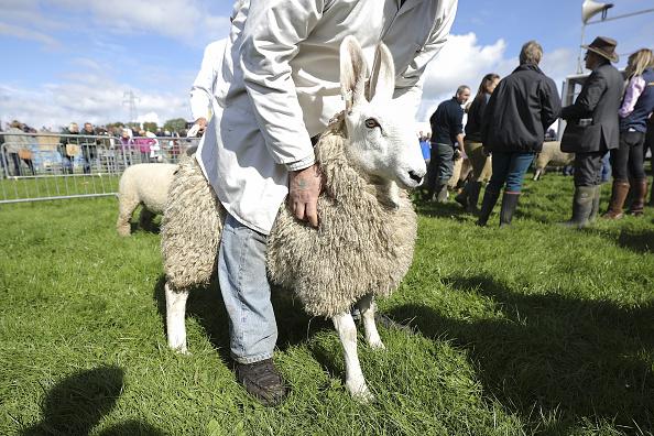 """""""骑乘一只比自己还矮的动物,这是一种态度""""9月14日,Milnthorpe的Westmorland县农业展览,参展者在展示他们饲养的羊。(Christopher Furlong/Getty Images)"""