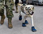 墨西哥地震救援现场,搜救犬弗瑞达全副武装,准备参与搜救。(OMAR TORRES/AFP/Getty Images)