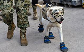 墨西哥地震英雄:搜救犬戰績驕人爆紅
