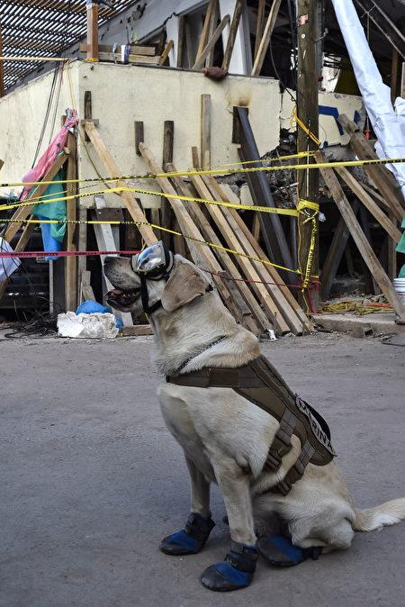 墨西哥地震救援现场,搜救犬弗瑞达获准原地休息。(OMAR TORRES/AFP/Getty Images)