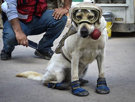 搜救犬弗瑞达服役数年来已经参与过很多次搜救工作。(OMAR TORRES/AFP/Getty Images)