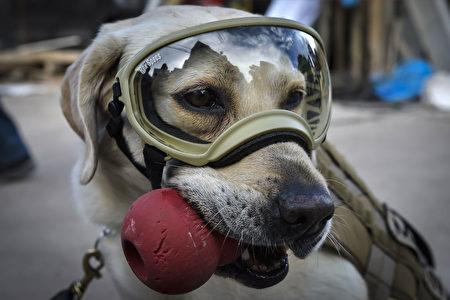 搜救犬弗瑞达在救灾现场积极寻找失踪者。(OMAR TORRES/AFP/Getty Images)
