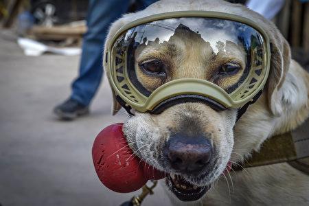 搜救犬弗瑞达现在是墨西哥人心中的英雄。(OMAR TORRES/AFP/Getty Images)