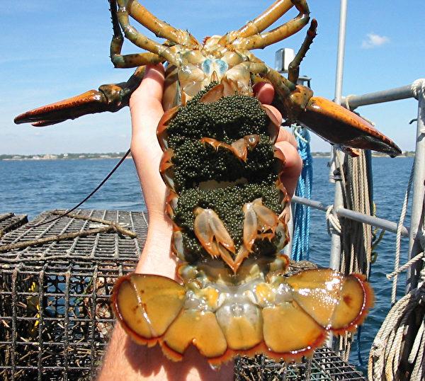 曾经打过V形缺口的龙虾又要甩籽了。(公有领域)