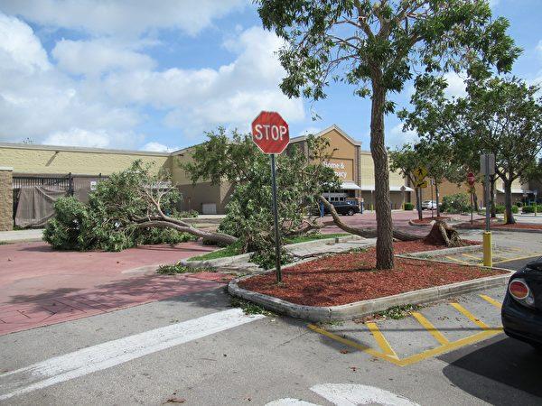 大树被连根拔起,堵塞住道路。 (李明杰/大纪元)