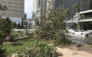 迈阿密市中心的道路上还有积水,大树被连根拔起 。 (艾莉/大纪元)