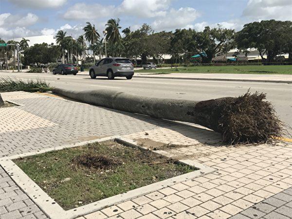 艾玛飓风过后,迈阿密的很多大树被连根拔起 。 (艾莉/大纪元)