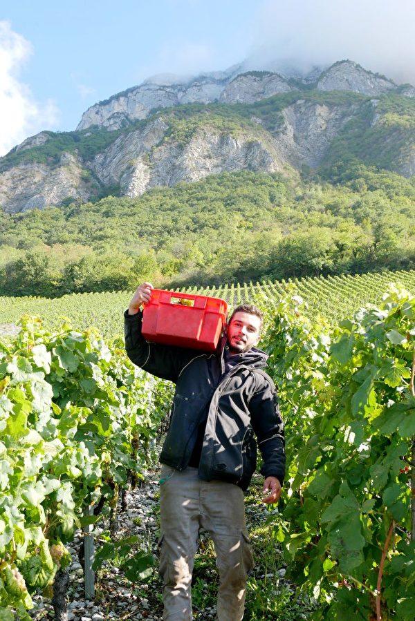 人们在山坡上的葡萄园里采摘葡萄。(龚简/大纪元)