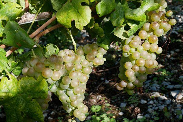 """这是萨瓦特有的白葡萄品种——""""Bergeron"""",也叫瑚珊(Roussanne)。(龚简/大纪元)"""