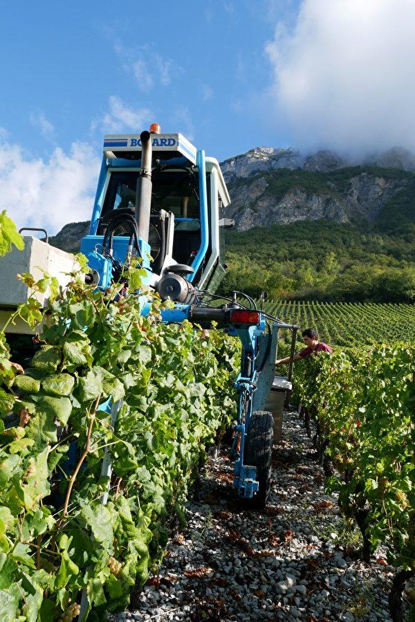人工採摘後, 由機器裝運葡萄, 節省人力。(龔簡/大紀元)