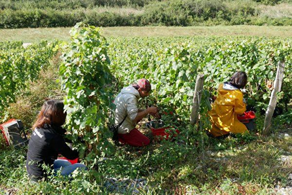 人們在山坡上的葡萄園裡採摘葡萄。(龔簡/大紀元)