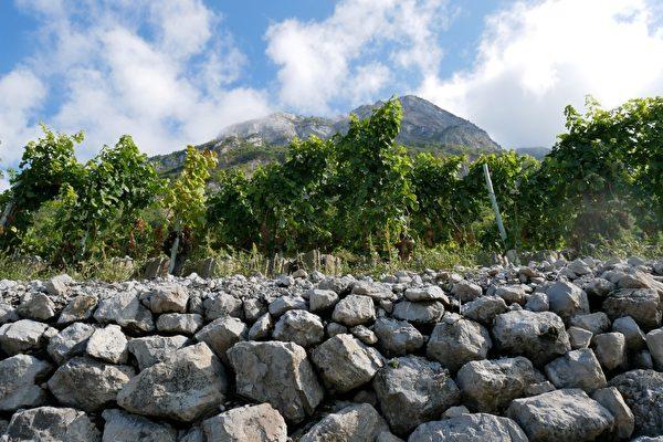 萨瓦最陡的葡萄园斜坡度为50度。(龚简/大纪元)
