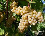 位於阿爾卑斯山脈的中間地帶,薩瓦葡萄產區的葡萄園總面積有2100公頃,分3個原產地控制(AOC)級別,有20個地理產區命名。(龔簡/大紀元)