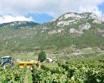 夏末的九月,法國各個葡萄酒產區都忙於收穫葡萄,萨瓦产区也不例外。(龔簡/大紀元)