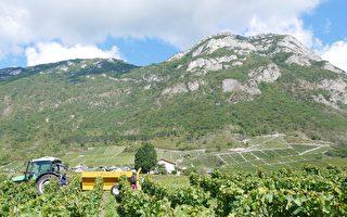 組圖:法國薩瓦葡萄收穫 景緻迷人