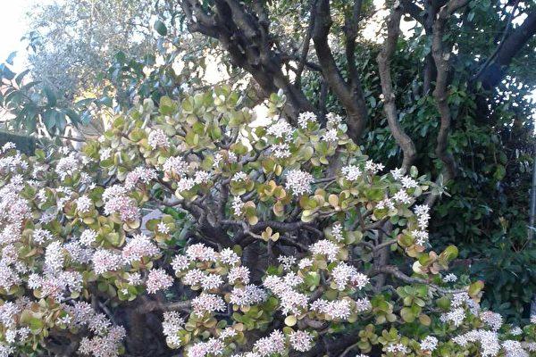 就像那灿然绽放的玉树花,其生命的芳华来自上天的赋予和造就,是世俗间的任何力量都难以摧毁的。(作者提供)
