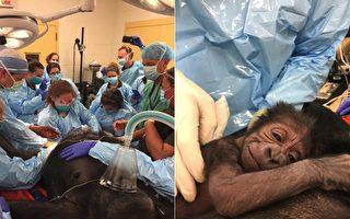 17岁大猩猩头胎难产 医生果断出手 结果超温馨
