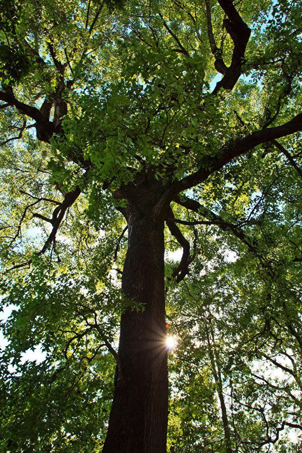 在美国的很多地方,砍树前必须申请许可。(王嘉益/大纪元)