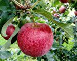 日本農夫花11年種出的蘋果 只要一口全身細胞都感動