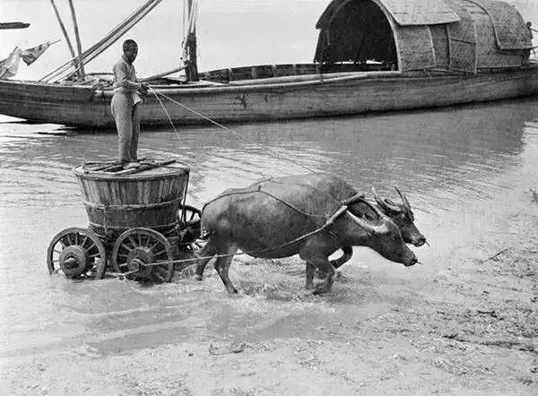 杭州的牛拉车,摄于1917年-1919年之间。(甘博/公有领域)
