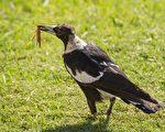 澳洲鍾鵲 (pixabay)